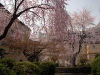 旧京都府庁の桜