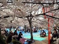 円山公園の花見