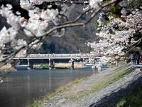 嵐山、渡月橋の桜