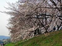 背割り公園の桜