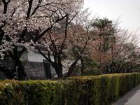 二条城外堀の桜