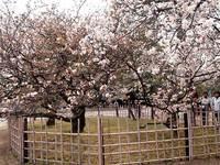 御車還の桜