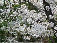 うぐいす公園の桜