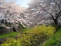 井手町玉川堤と地蔵院の桜