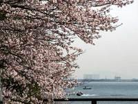 琵琶湖と桜