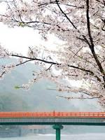 宇治橋と桜