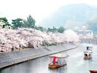 宇治河岸の桜