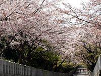 向日神社の桜並木