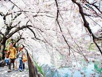 伏見疏水の桜
