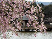 八条ケ池と桜