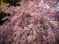 平野神社、紅枝垂桜