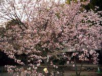 平野神社の紅山桜
