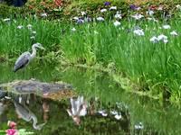 平安神宮・白虎池の花菖蒲