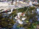 出水の里桜