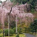 京都桜情報2008