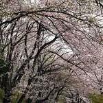 東山南山麓・日吉ヶ丘高校の桜