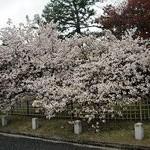 京都御苑・車還櫻(くるまがえしさくら) (続々)