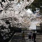 京都桜情報2009
