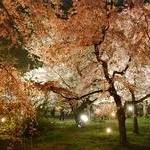京都府立植物園 桜ライトアップ投稿者:猫村さん