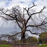 円山公園〈1〉Maruyama Park