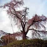 円山公園〈2〉Maruyama Park