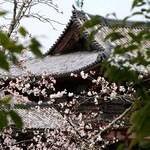 京都桜情報2010