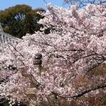 鮮やか桜満開の光明寺