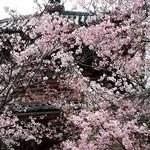 大山崎町の桜