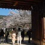 京都桜情報2011
