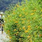 サイクリングロードにコスモス 桂川右岸