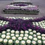 700株の葉ボタン 京都府立植物園