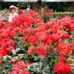 バラ2500株咲きほこる 府立植物園