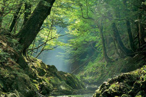 「もりの記憶~芦生の森・緑うるおう頃」広瀬慎也さん写真展、22日から中京区・AMS写真館ギャラリー